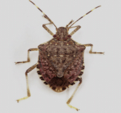 Brown Marmorated Stink Bug — A Pest on the Move Adult-stink-bug
