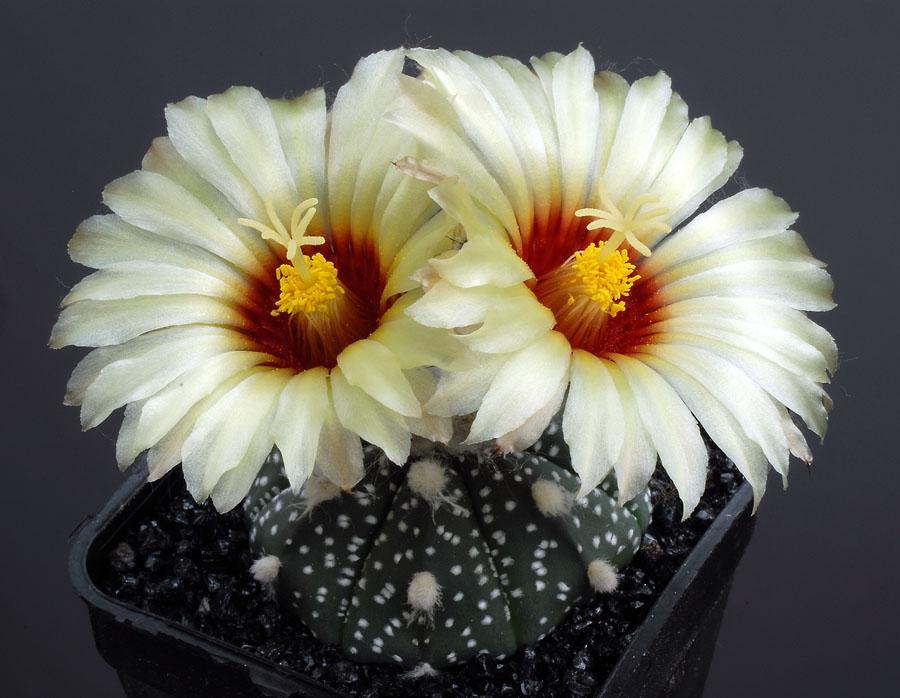 Quelques floraisons - Page 2 Astrophytum_asterias
