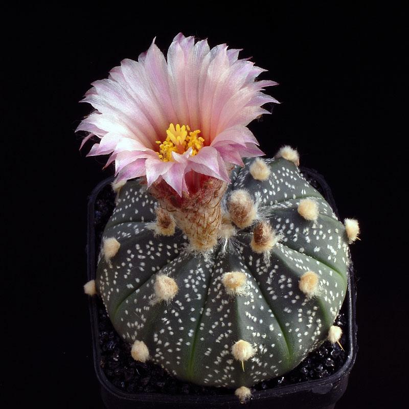 Quelques floraisons - Page 3 Astrophytum_asterias_fleur_rose