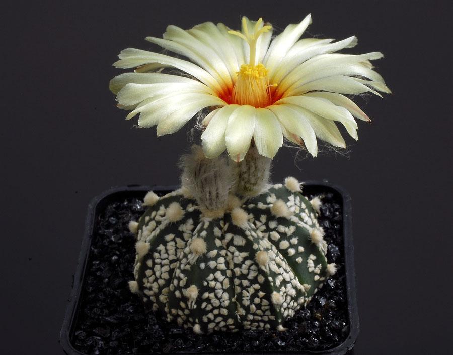 Quelques floraisons - Page 2 Astrophytum_asterias_sk