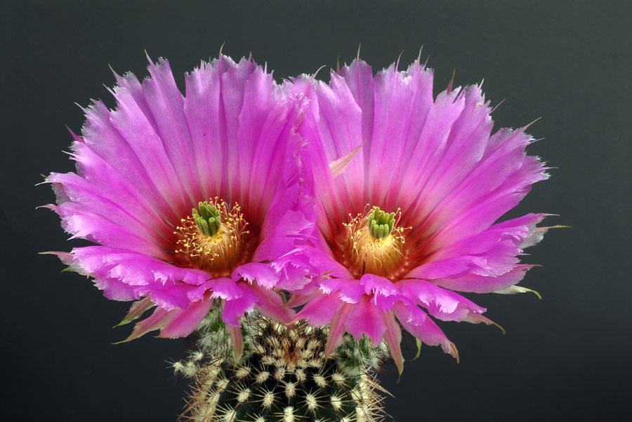 Quelques floraisons Echinocereus_armatus