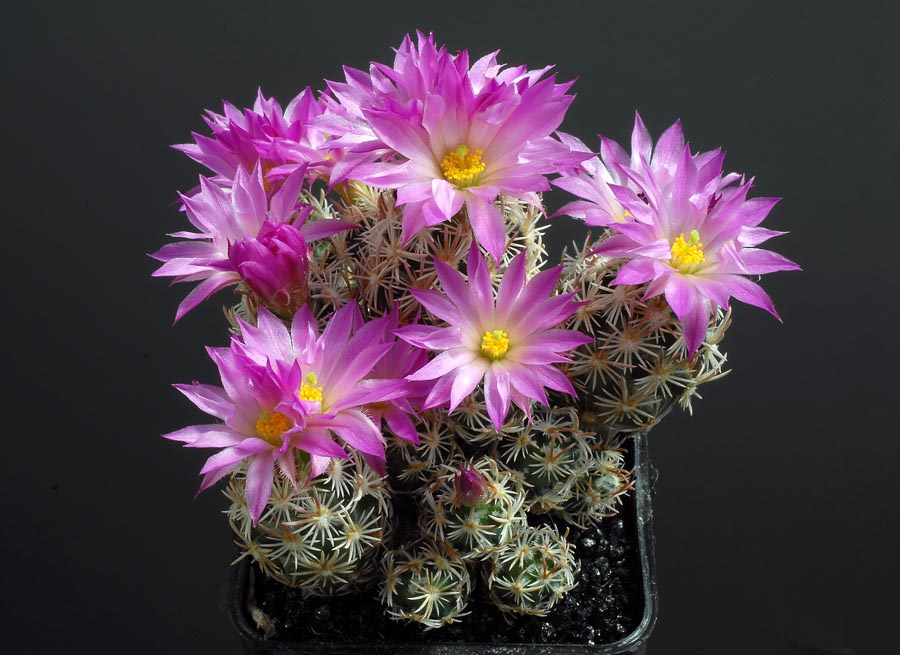 Quelques floraisons - Page 2 Escobaria_minima