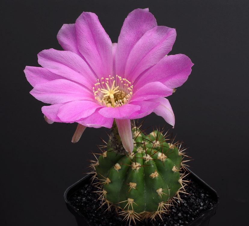 Quelques floraisons Lobivia_caineana_JK489