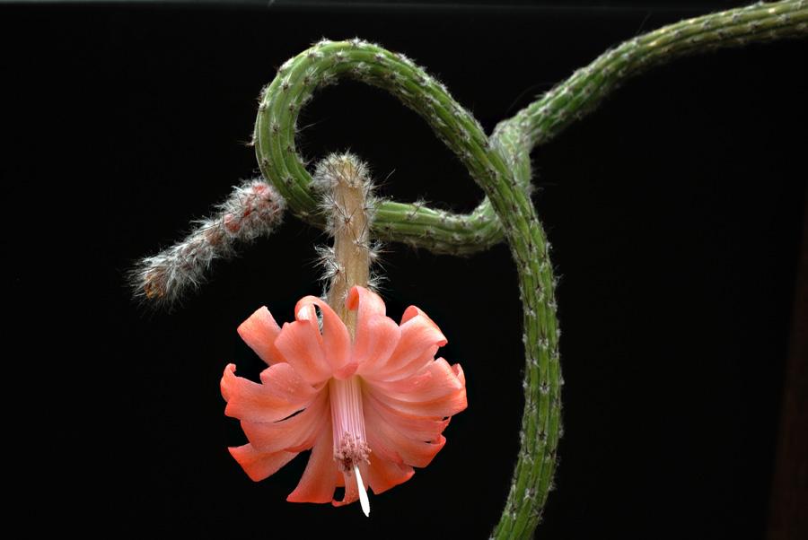 Quelques floraisons - Page 2 Peniocereus_viperinus_4
