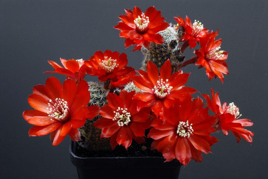 Quelques floraisons - Page 2 Rebutia_supthutiana_WR689