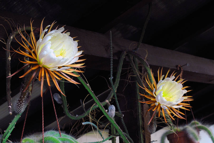Quelques floraisons - Page 3 Selenicereus_coniflorus_5