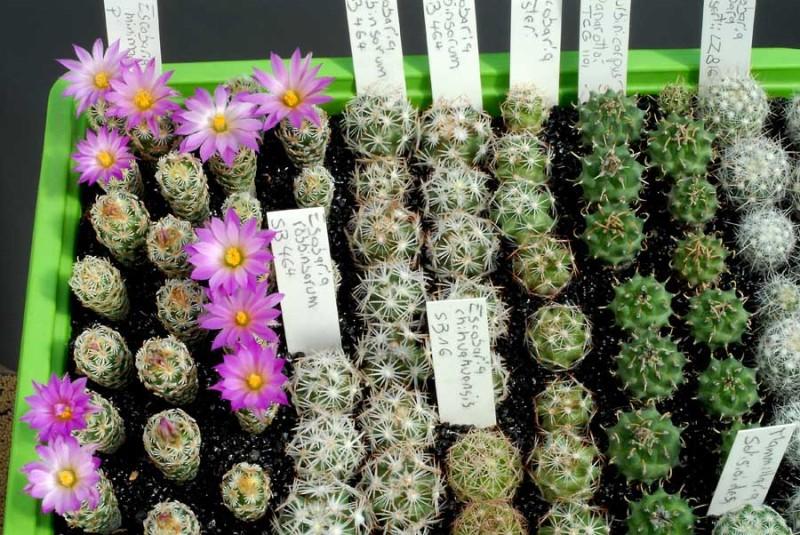 Dites le avec des fleurs - Page 13 Escobaria_minimaB