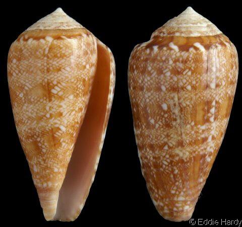 Conus (Leptoconus) natalis GB Sowerby II, 1858 Conus_natalis_3071b