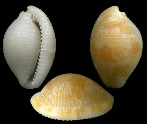 Pseudocypraea adamsonii - (Gray, 1832) Pseudocypraea_adamsonii_3