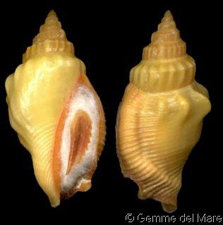 Canarium erythrinum - (Dillwyn, 1817) Strombus_erythrinus_4