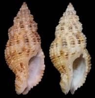 Maculotriton serriale - (Deshayes, 1834) TN_Hindsia_mergregia