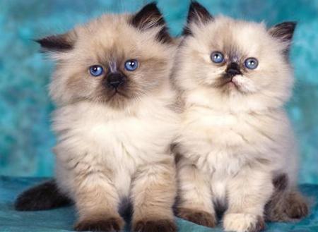 Tienda de mascotas de angelica - Página 2 Gatos-gemelos