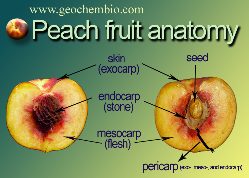 Give your answer and learn new Vocabulary - Page 6 Peach-fruit-anatomy