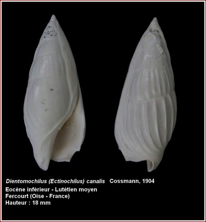 Strombidae - † Ectinochilus canalis (Coquebert and Brongniart, 1793) - Lutécien moy. (Fercourt 60) Post-107-0-96566500-1453748925_thumb