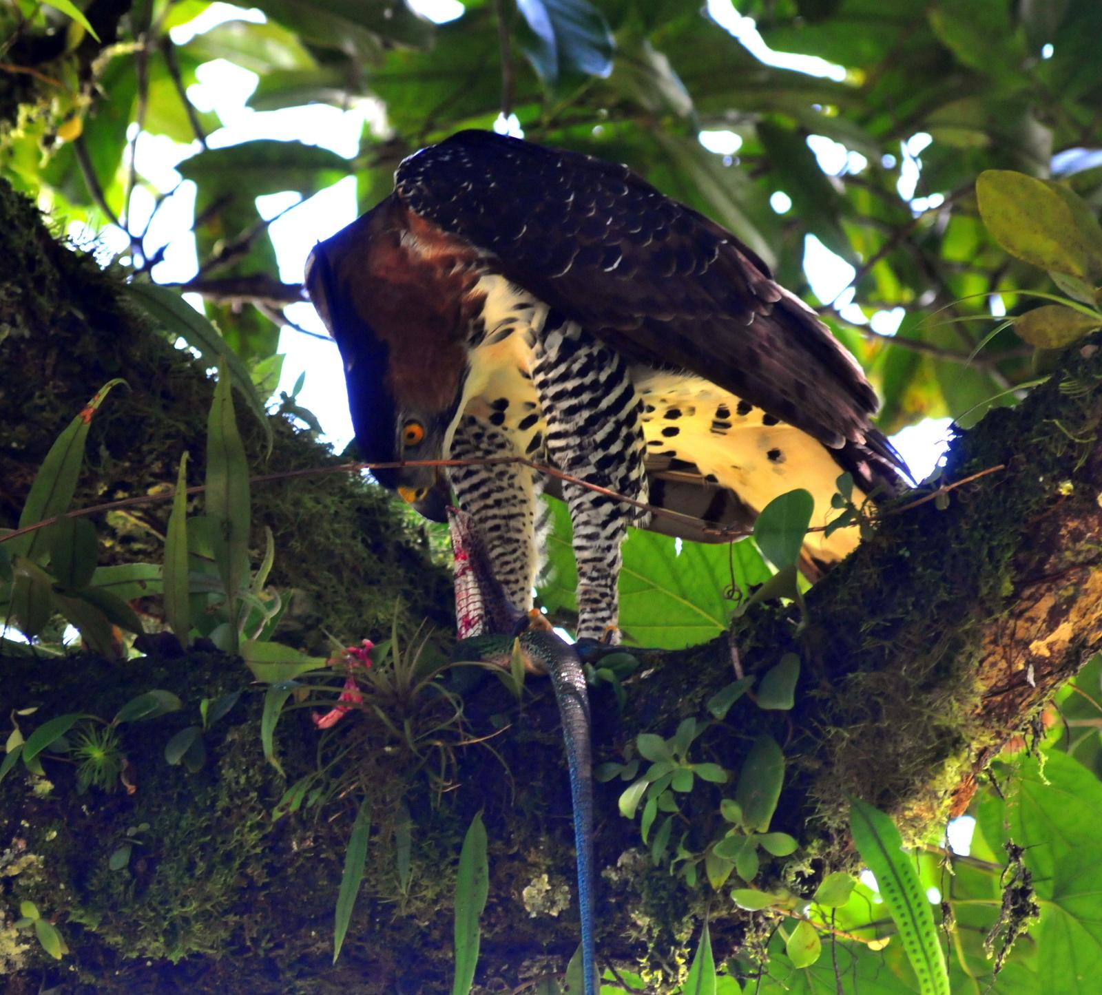 Falconiformes. Família  Acciptridae - Subfamília Buteonidade- Gaviões de penacho. genêro SPIZAETUS Spizaetusornatus_MichelCl%C3%A9ment_83