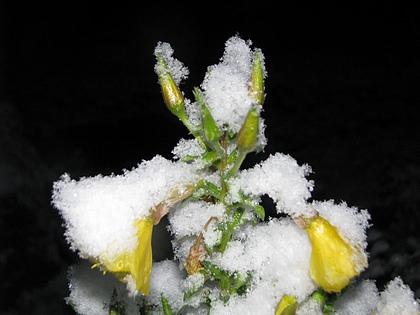 Oenothera biennis  - Page 3 Neige27novembre-01