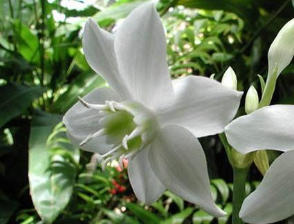 Lục Bát Hoa ĐV - Page 43 Eucharis_grandiflora3-max-500