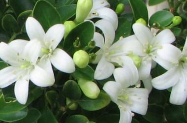 la fleur de Martin du 11 janvier trouvée par Jovany Murraya_Paniculata3-380x250a