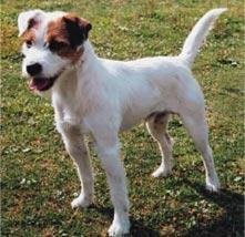 Person Raselov terijer Parson-russell-terrier