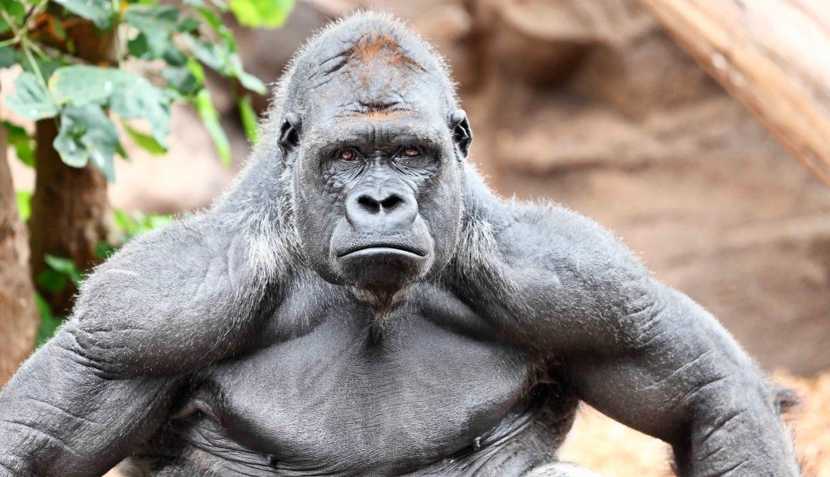 """I Concurso """"Mister"""" foroplural - Página 5 Depredadores-de-los-gorilas"""