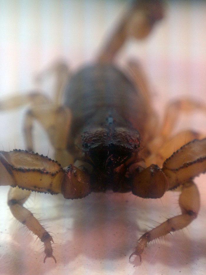 Scorpion ID (Santa Ana Mountains, Orange County, California) IMAG2141