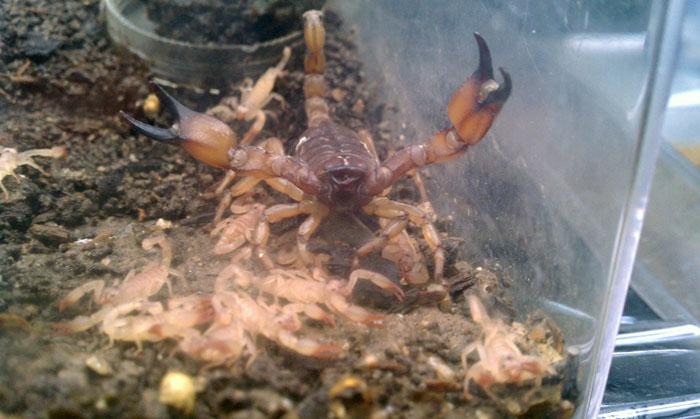 Scorpion ID (Santa Ana Mountains, Orange County, California) IMAG2147