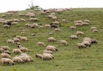 Šta je novosadski?  Coban-tera-ovcice