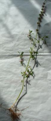 Chervis (Sium sisarum) et autres plantes oubliées. - Page 2 A101