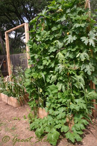 I broke my Sugar Pumpkin plant! Sugarpumpkins09-18-09