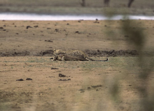 Jaguar venezuelano VS Leopardo macho monstro - Página 2 Leopardcrocodile7