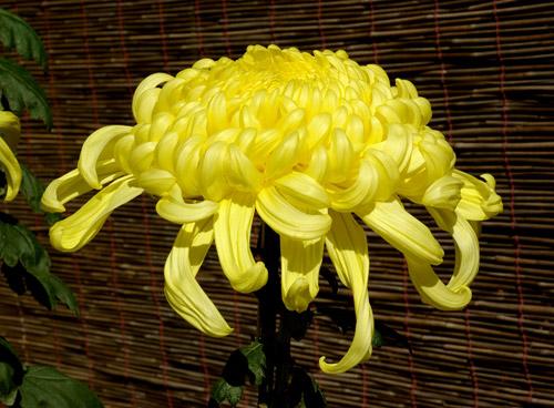 Легенды о цветах Chrysanthemum