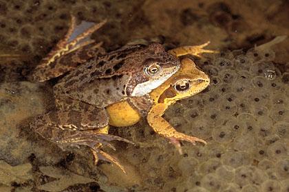 التولد عند الكائنات الحية و  إنتقال الصفات الوراثية عند الإنسان  Reproduction_5_accouplement_axillaire_ou_ponte_des_grenouilles