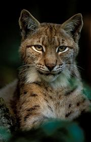 Braconnage de lynx dans le jura... Lynx_colonne_droite