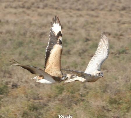 Falconiformes. sub Falconidae - sub fam Falconinae - gênero Falco A_Proven_hunting_stock__Regait_