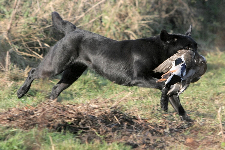 صور كلاب الصيد IntFTChFromGundogsHeavenBilly3