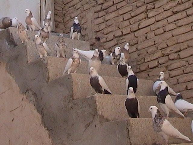 Sineh güvercini Iran15