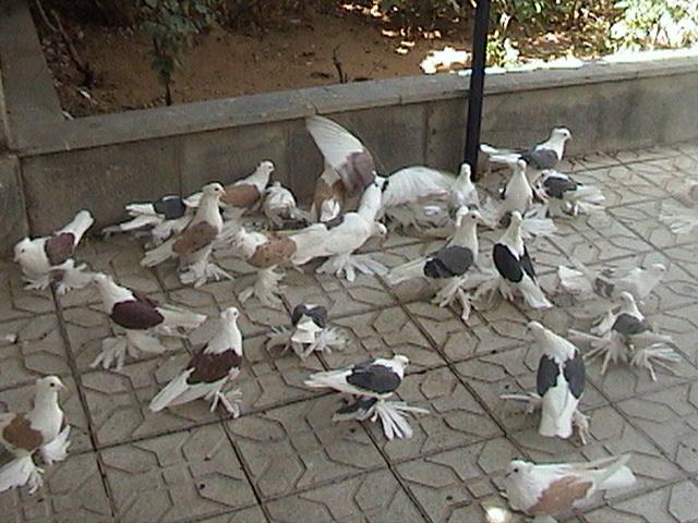 Hamedan güvercin Iran32