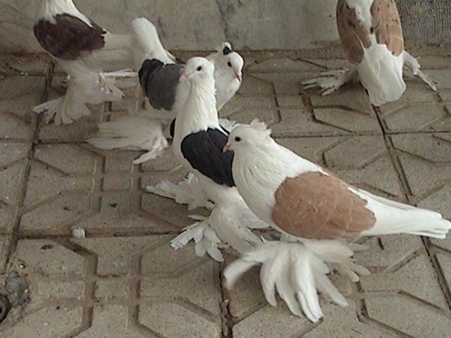 Hamedan güvercin Iran34