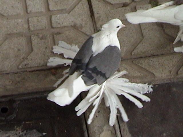 Hamedan güvercin Iran37