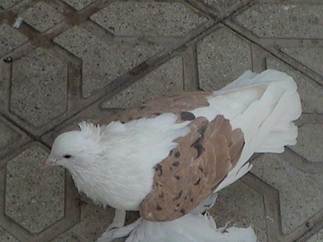 Hamedan güvercin Iran39
