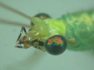 Bộ sưu tập côn trùng 2 - Page 25 Cp_suzukii_adult_head_young
