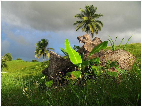 43 - les troncs d'arbres....  Photos reçues - Page 2 Gwada-paysages-15