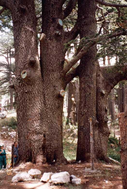 Árvores - Nossos baixos antes de tomar forma Cedar.of.lebanon.old.cedar.tree