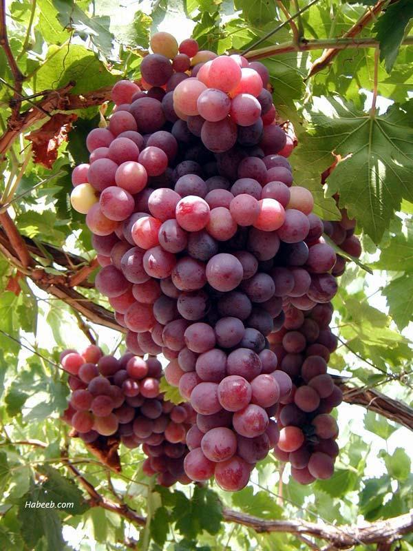(الصمود )...... Lebanon.grapes.34098