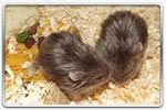 ELEVAGE - HAMSTERS RUSSE - HAMSTERS CAMPBELL Campbell_chocolat_satin