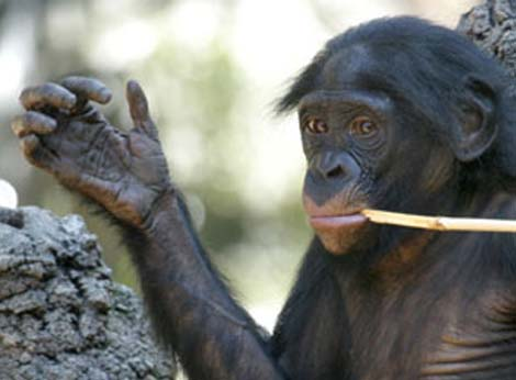 VII - REPORT: Korean researchers discovered the 'Suwon crease', only observed in males! - Page 8 Bonobo-hand-lines