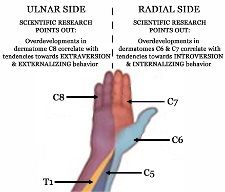 I - The thumb represents the inner essence of man! - Page 42 Dermatomes-hand-behavior