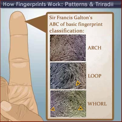 The TRIRADIUS in a fingerprint: how it develops, it's characteristics + a definition! - Page 14 Fingerprint-patterns-arch-loop-whorl