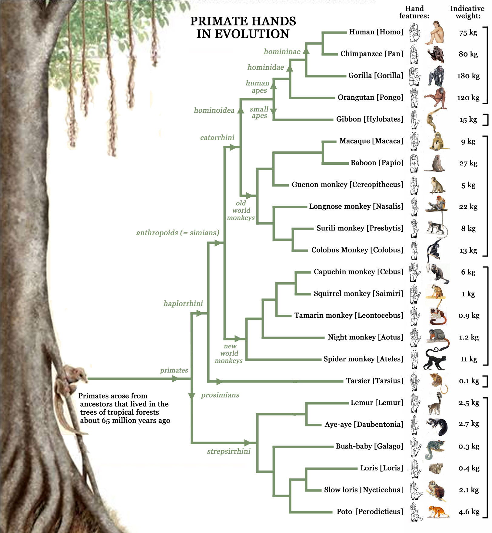 Primatology palm reading! Primate-hands-family-tree-evolution