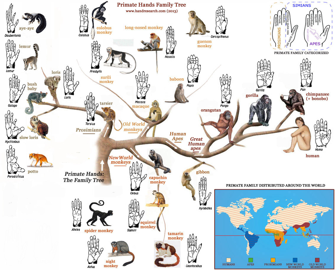 Primatology palm reading! Primate-hands-family-tree